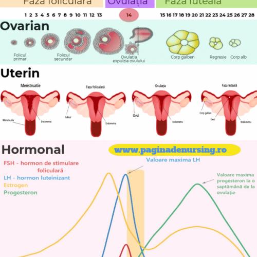 ciclul menstrual pagina de nursing