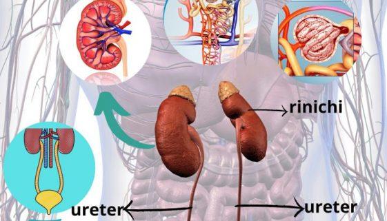 sistemul excretor paginadenrsing rinichi tract urinar (1)