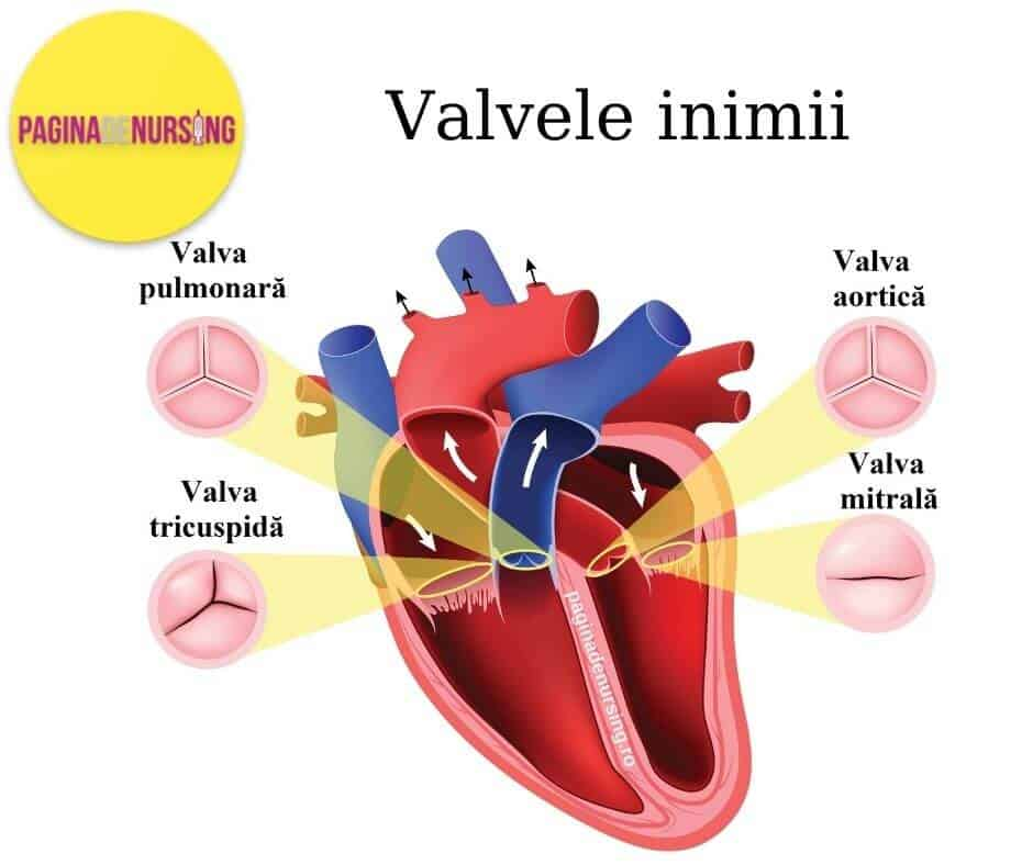 inima valvele inimii sistemul circulator aparat cardiovascular paginadenursing