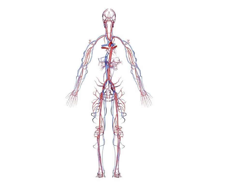 sistem arterial sistem venos sistem circulator aparat cardiovascular paginadenursing