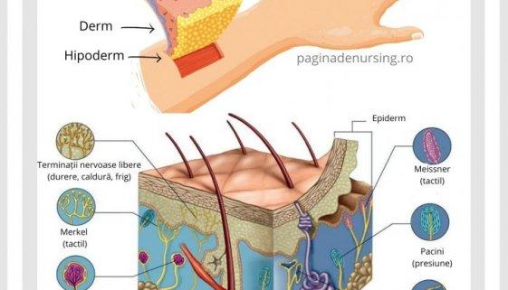pielea analizatorul cutanat anatomie paginadenursing organe de simt asistenti medicali amg