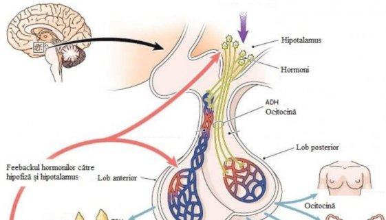 glanda hipofiza paginadenursing amg anatomie pentru asistenti medicali