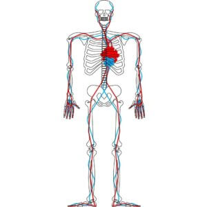 circulatia sangelui paginadenursing mari descoperiri istoria medicala