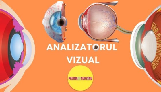 Analizatorul vizual ANATOMIE amg paginadenursing asistenti medicali