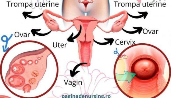 sistemul reproducător feminin anatomie paginadenursing asistenti medicali amg